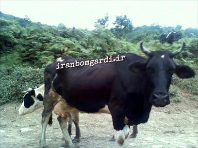 مازندران - سد البرز - گاو محلی
