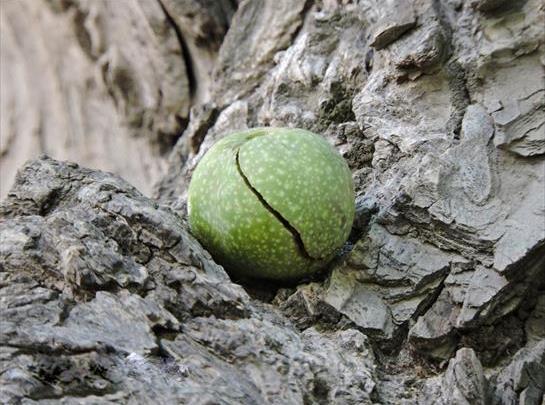 میوه گردو شهمیرزاد