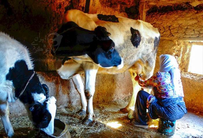 دوشیدن شیر محلی به سبک سنتی در اقامتگاه خانه مادر