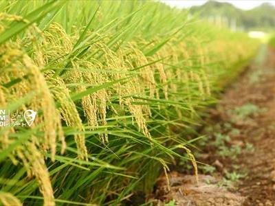 برنج طارم محلی فریدونکنار