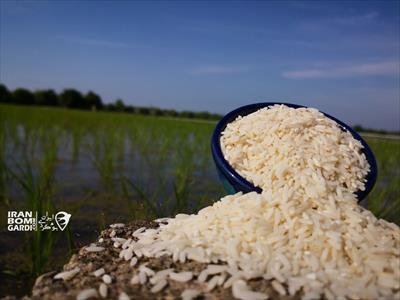 برنج بدون سم ارگانیک طارم بابل (هاشمی)